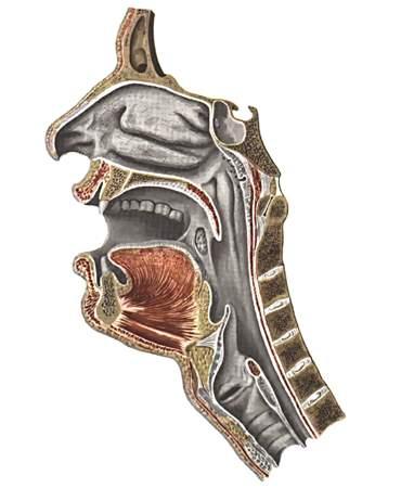 Полость рта cavum oris начало пищеварительного аппарата... и мышцами, образующими дно полости рта, сзади при...