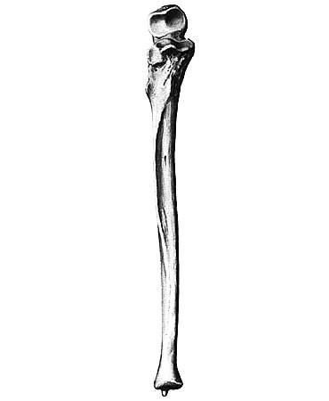 где находится лучевая кость на руке фото