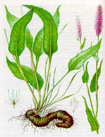 Змеевик (горец змеиный)